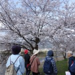 桜めぐりツアー